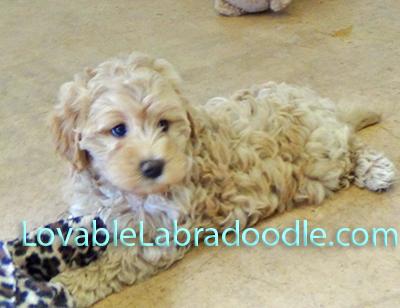 F1 B Mini Labradoodle Puppies For Sale Labradoodle Mini