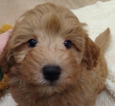 Pugapoo as well Chion besides 2064534 furthermore Mini Labradoodle Puppies For Adoption as well Is The Papillon A Good Choice Of Dog. on small toy puppies for adoption