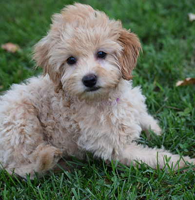 multi generation f1b mini labradoodles | labradoodle mini