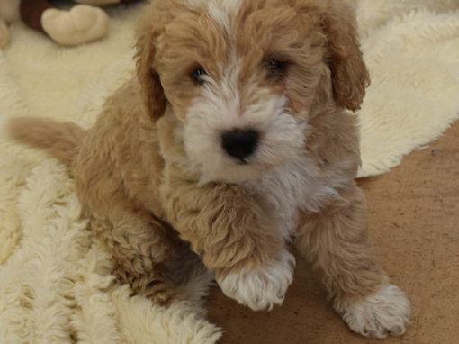 Becca Toy Labradoodle Puppies
