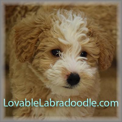Second Generation F1b Mini Labradoodle Puppies Labradoodle