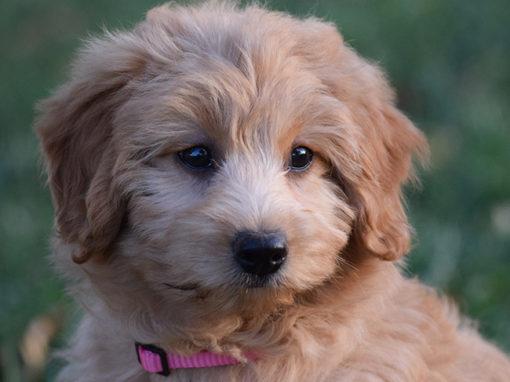 Abby's Puppies 2016