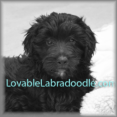 Chloe and Hershey's Mini Labradoodle Puppies
