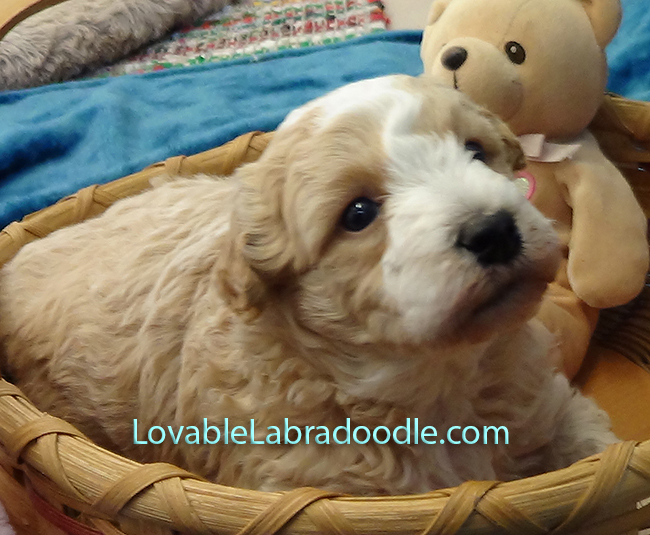 Mini Labradoodle Puppies for sale
