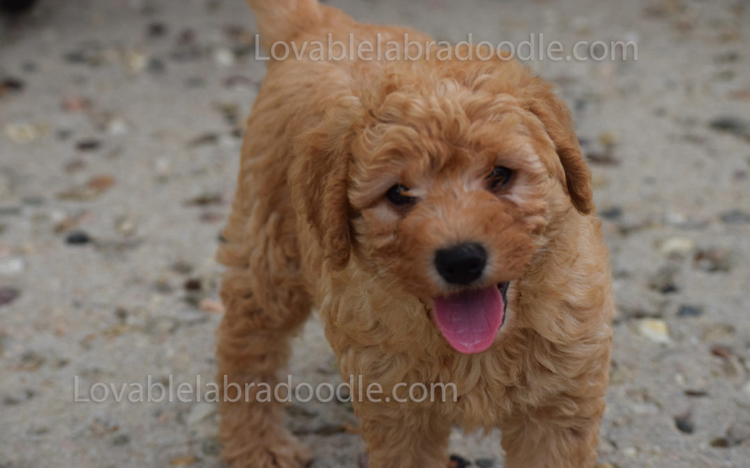 Red Chocolate Mini Labradoodles