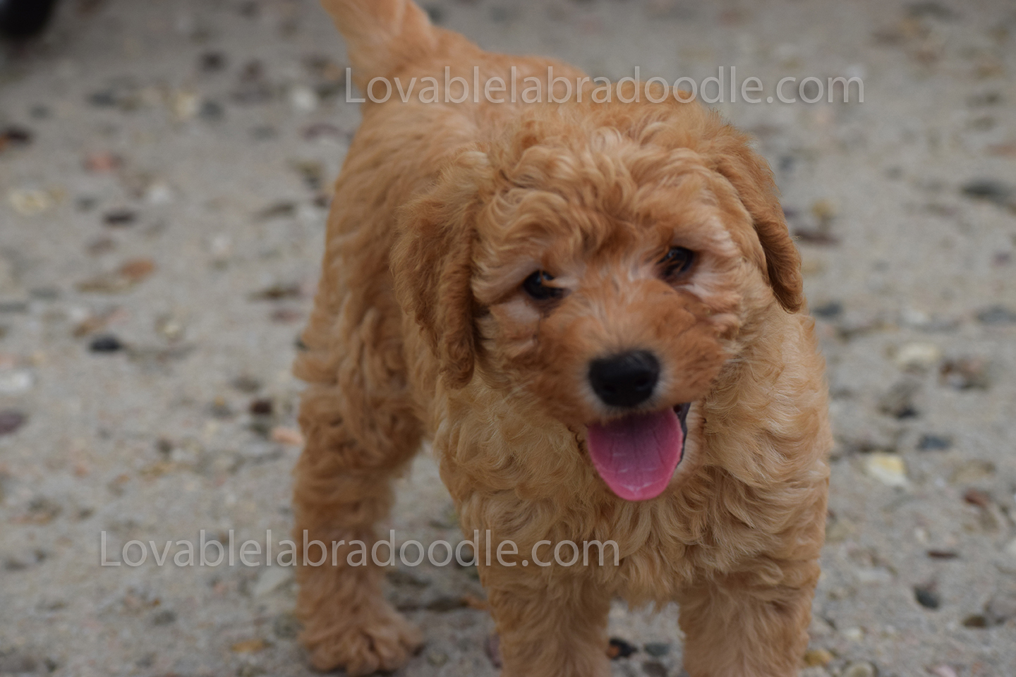 red chocolate mini labradoodle puppy