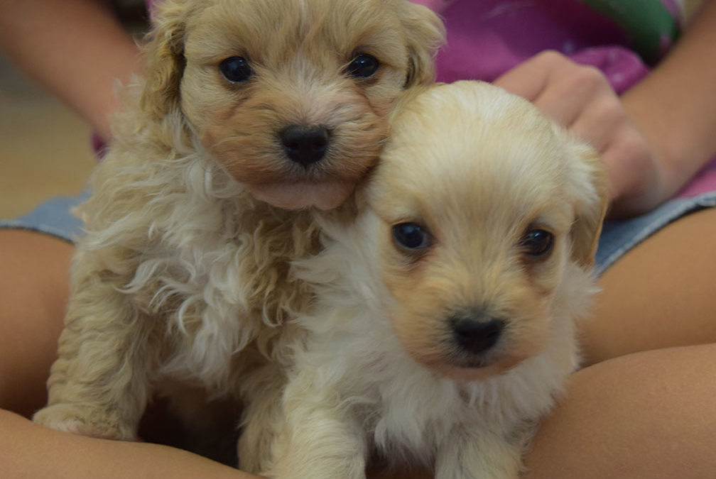 Toy Labradoodle Puppies