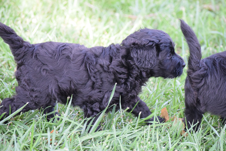 Black-Mini-Labradoodle-Puppies-72518   Labradoodle Mini