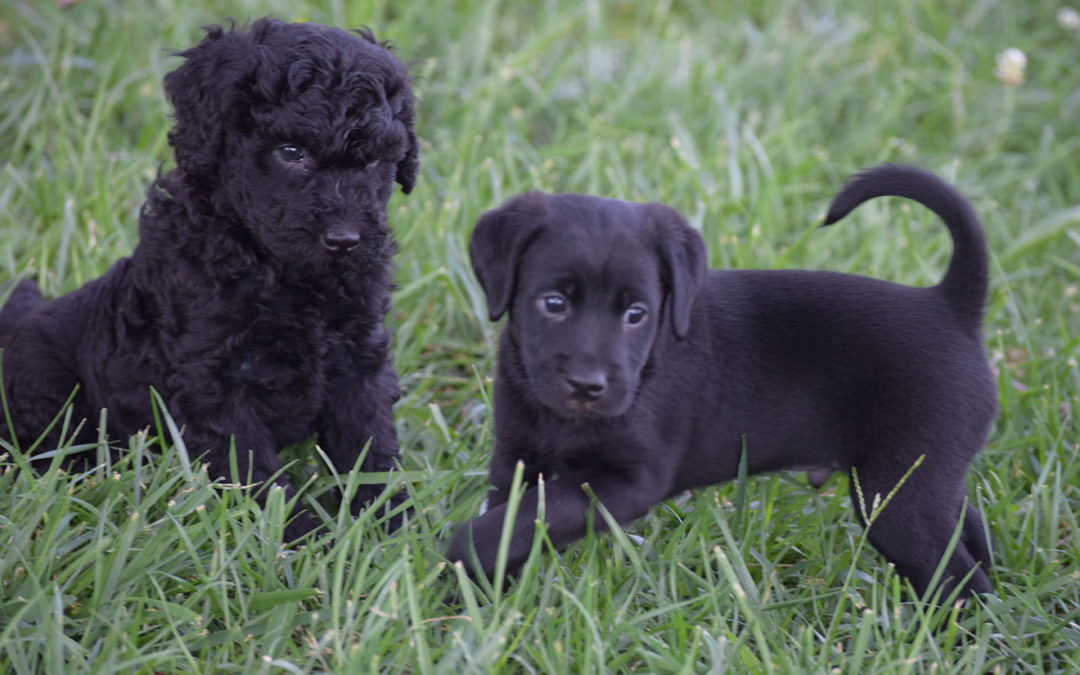 Black-Mini-Labradoodle-Puppies-72518