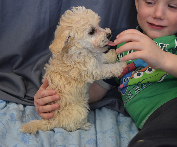 Toy Labradoodle Puppies