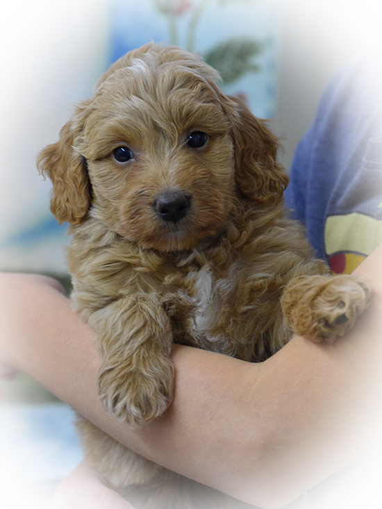 Mini Labradoodle Puppies For