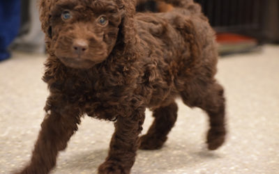 Daisy Chocolate Mini Labradoodle Puppies