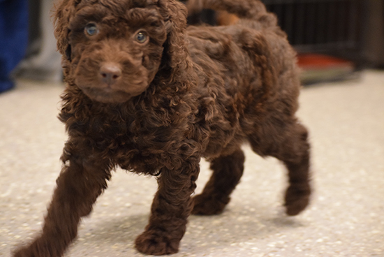 Daisy Chocolate Mini Labradoodle Puppies