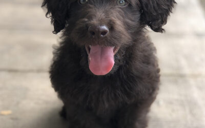 Snickers F1B Mini Labradoodle Puppies